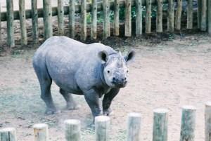 Black Rhino in Boma 2