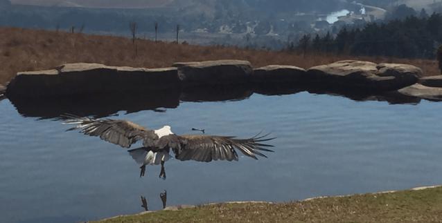 Fish Eagle at Falcon Ridge Bird of Prey Centre