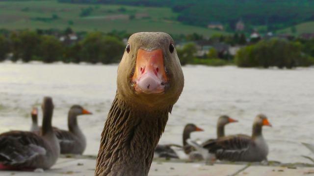 goose-178143_1920